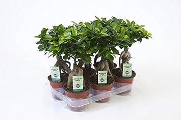 Ficus Ginseng, Ginseng Bonsai, (Ficus microcarpa), asiatischer ...