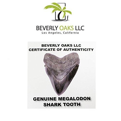 Large Monster High Quality Megalodon Shark Tooth 5-6 Inches Great White Ancestor by Beverly Oaks (Image #4)