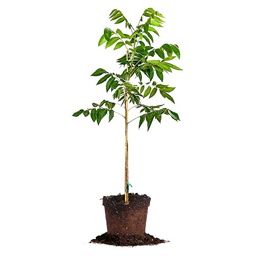 DESIRABLE PECAN TREE - Size: 5 Gallon, live plant, includ...