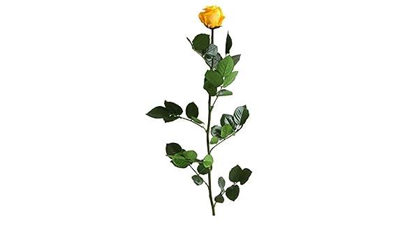 altura 55 cm Amarillo Verdissimo Rosa Preservada en Estuche de Regalo Tama/ño cabeza Standard