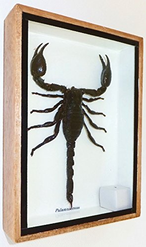real-exotic-poisonous-scorpion-preserved-taxidermy-insect-bug-collection-framed-in-a-wooden-box-as-p