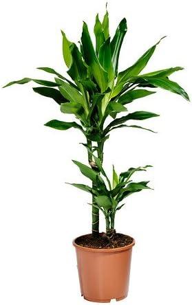 IKEA DRACAENA JANET LIND - Planta en maceta - 17 cm: Amazon.es: Jardín