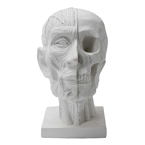 Torino Plaster Cast Dissection Of Skull, Human Skull in 2 Layers of Dissection, Great for Portrait Artists, White, 7.5'' X 6'' X 10'' by Torino