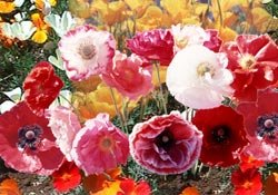 Poppy Cascade Pocket (Papaver Rhoeas) Mix a Blend of California Poppy, Red Poppy, Iceland Poppy and Shirley Poppy. Attracts Hummingbirds and Butterflies Easy to Grow! Approx 100 Seeds