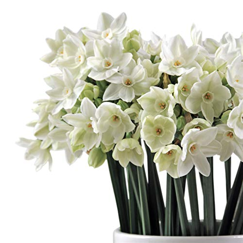 Looking for a paperwhite narcissus bulbs planted? Have a look at this 2019 guide!
