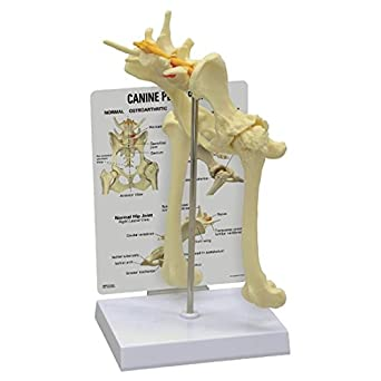 Canine Pelvis Hip Model Dog: Animal Anatomical Models: Amazon.com ...