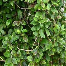 Gymnema Leaf, Cut&Sifted - Wildcrafted - Gymnema sylvestris (454g = One Pound) Brand: Herbies Herbs