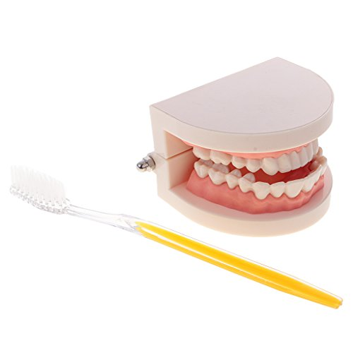 MonkeyJack 1:1 Human Mouth Teeth Model with Toothbrush Tooth Caring Teaching School Learning Aid Dentist Office Ornament