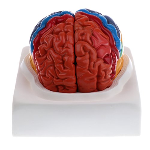DYNWAVE Regional Human Brain Model, Life Size, 2 Parts, Color-Coded, Includes Base, for Learning Resources ()