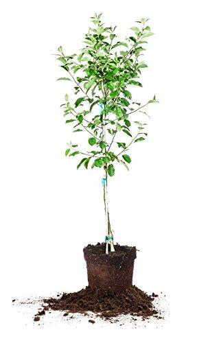 e Tree, Size: 3-4 ft. (Anna 3 Light)