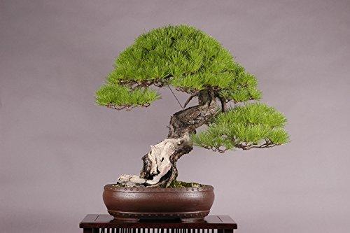 15 Seeds Pinus Densifora (Japanese Red Pine) Bonsai
