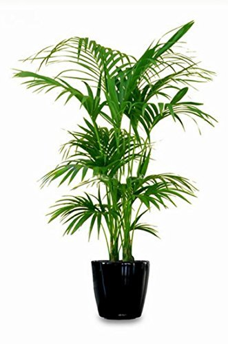 Zimmerpflanze Pflegeleicht kentia palme howea forsteriana wunderschöne zimmerpflanze sehr