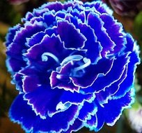 - Saavyseeds Cobalt Carnation Seeds - 35 Count