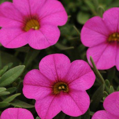 Amazon calibrachoa kabloom deep pink f1 pink flowers deep pink f1 pink flowers flower seeds 100 seeds mightylinksfo