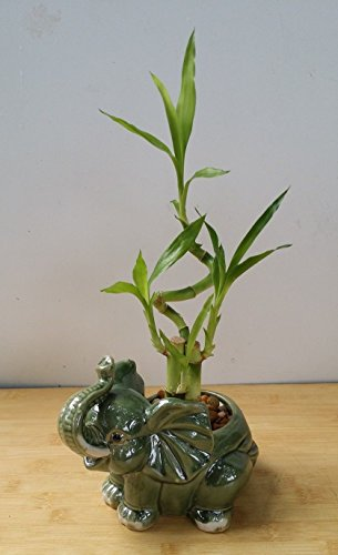 jm bamboo-Lucky Bamboo - indoor house plant bring good luck and Elephant vase good Feng Shui by JM BAMBOO