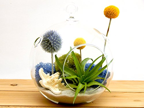 Bliss Gardens Air Plant Terrarium Kit with Knobby Starfish, Moss, Blue Thistle, Yellow Billy Buttons / 5