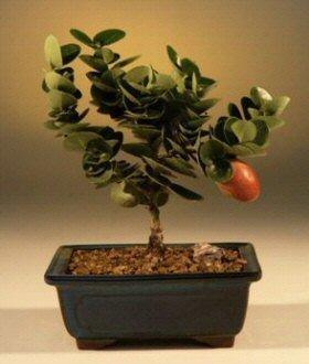Flowering Plum Bonsai Tree-Small ()