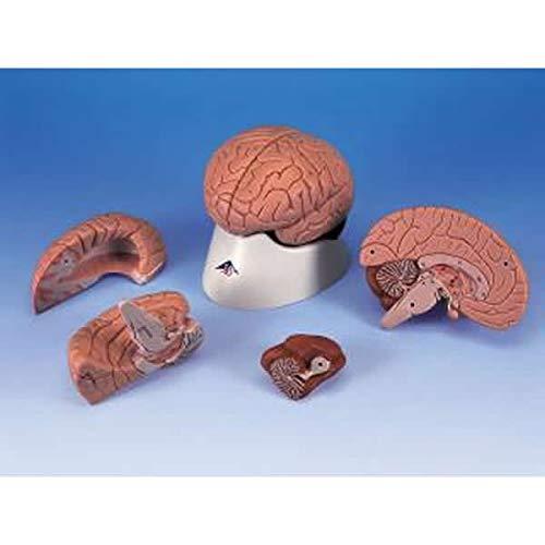 人気No.1 脳の構造模型 C-16N C-16N B07HJ75JP4 脳の構造模型 B07HJ75JP4, SCWORLDPLUS:fda7d541 --- a0267596.xsph.ru