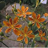 Belamcanda (Candy Lily) chinensis Blackberry Lily 250 seeds