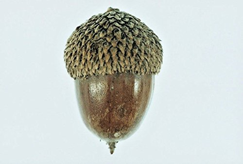 10 SWAMP CHESTNUT OAK ACORNS - Quercus -