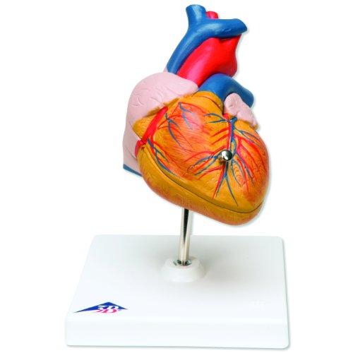 3b Scientific G08 2 Part Classic Heart Model 75 X 47 X 47