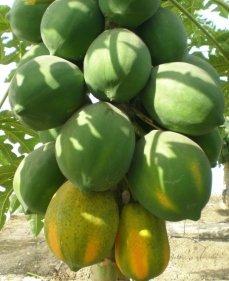 National Seeds Corporation Limited Papaya Hybrid Vinay 10 Grm Rs