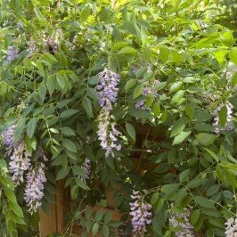 Summer Cascade Wisteria> Wisteria macrostachya 'Betty Matthews'> Landscape Ready 2 gallon Container