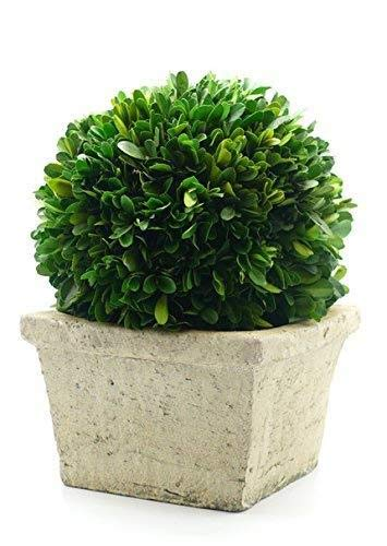 Serene Spaces Living Preserved Boxwood Ball in Square Pot, Medium Size - Greenery Boxwood Ball Topiary and Pot, 6