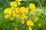 HATCHMATIC Streptosolen jamesonii | Marmalade 10 Seeds