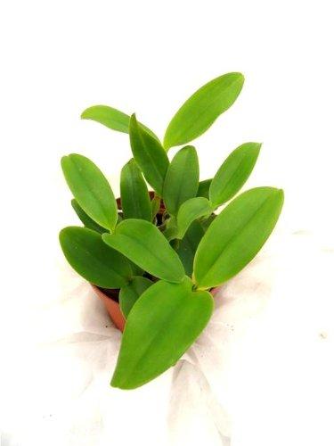 1 blühfähige Orchidee der Sorte: Lc. skinneri alba, 13-14cm Topf, blühstark
