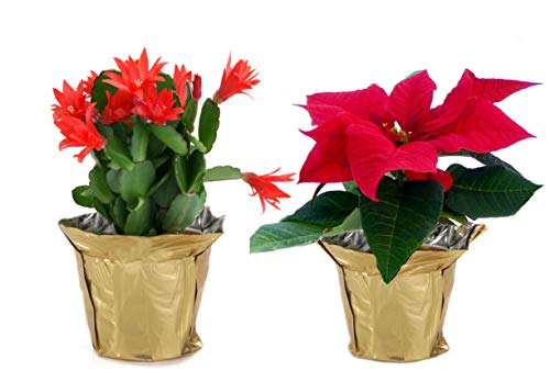 Costa Farms Live Christmas Cactus in 4in Gold Decor Pot Cover and Red Poinsettia in 4in Gold Pot Cover, 2-Pack, Fresh From Our Farm, Great Holiday Gift or Christmas Decoration