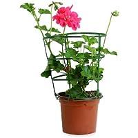 Geranio Hiedra M-13 Colores Surtidos Planta Natural con Flor de Temporada