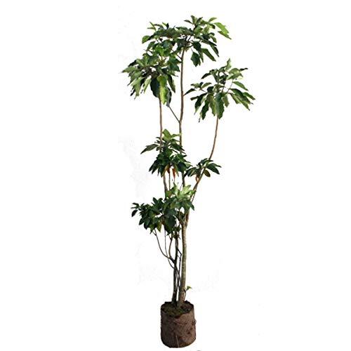 カクレミノ 樹高1.8~2.0m前後 (根鉢含まず) B01MYZIINZ