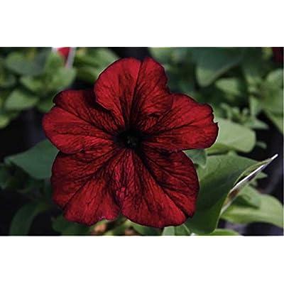Petunia Grandiflora 'Touha H Burgundy' (Petunia Hybrida Grandiflora) Flower Plant Seeds, Annual Hybrid : Garden & Outdoor