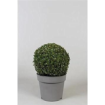 Buchsbaum-Kugel 60 cm Ø Buxus sempervirens RESTPOSTEN