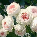 バラ苗 パシュミナ 国産大苗6号スリット鉢 フロリバンダ(FL) 四季咲き中輪 ピンク系 アンティークタイプのバラ