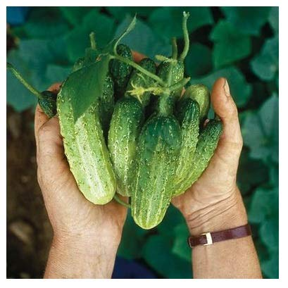 David's Garden Seeds Cucumber Pickling Northern BG7722 (Green) 50 Non-GMO, Open Pollinated Seeds (Best Pickling Cucumber Seeds)