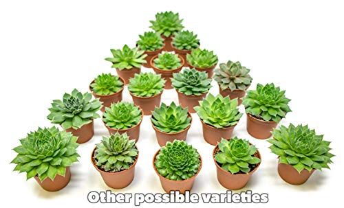 Fractal Succulents (20 Pack) Live Sempervivum Houseleek Succulent Rooted in Pots | Flowering Plant Leaves / Geometric Rosettes by Plants for Pets by Plants for Pets (Image #8)