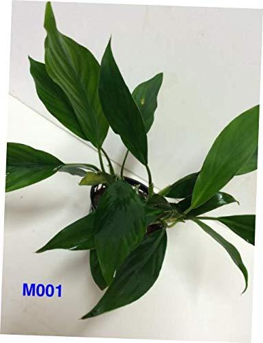 NQA M001 Exotic Live Aquatic Fresh Water Aglaonema Species Mother Pot Plant - RK246