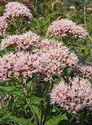 20 HEMP AGRIMONY Eupatorium Cannabinum Raspberries & Cream Flower Seeds *CombS/H