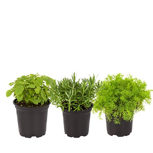 """The Three Company Stress Relieving Live Aromatic 4"""" Herb Combo (Lemon Balm, Thyme, Lavender), 1 Pint Pot, Aids in Relaxation"""
