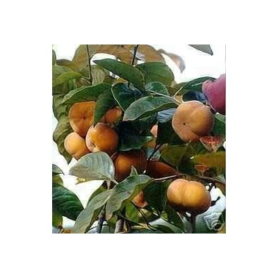 Marthas Secrets Fuyu Giant Japanese Persimmon Tree Grafted ships from Marthas Secrets Cannot Ship to CA, AZ, AK, HI, OR or WA Per State Laws : Fruit Plants : Garden & Outdoor