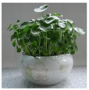 Solution Seeds Farm New Rare Hierloom 100 Water Plants Seeds Raw Culture Horseshoe Gold Coins Grass Species Four Seasons Germinate Easily Potted Hydrocotyle Vulgaris (SEEDS)