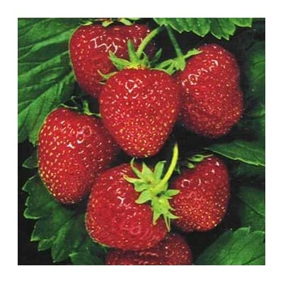 HOT - Fragaria Strawberry One Time Fruit Seeds/Ananassa/Perennial 20 Seeds : Garden & Outdoor