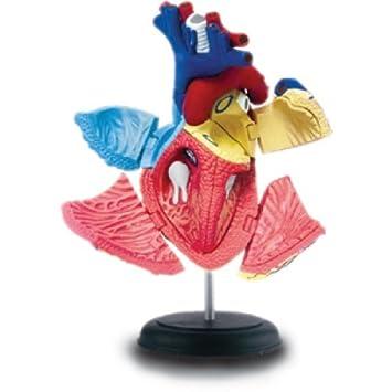 Corazón Humano Modelo de Anatomía: Amazon.es: Juguetes y juegos