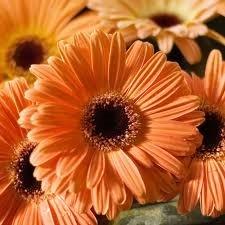 "(AGERE)~""EZ DAISY FALL COLORS-TANGERINE"" GERBERA DAISY~Seed!!~~~~Pretty, Pretty!"