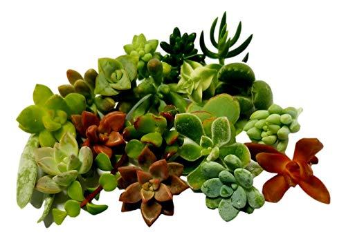 Fat Plants San Diego Miniature Fairy Garden Succulent Cuttings (15) (Miniature For Gardens Plants Miniature)