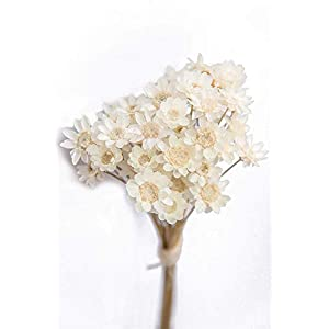 MARJON Flowers100 Stems Natural Dry Flowers Brazilian Small Star Daisy Decorative Dried Flowers Mini Daisy Chamomile Bouquet for Wedding Floral Arrangements Home Decorations (White) 93