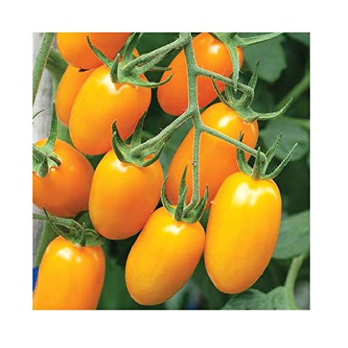 David's Garden Seeds Tomato Grape Nova 9898 (Orange) 25 Non-GMO, Hybrid Seeds