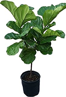 fiddle leaf fig tree plant in 12 black pot about 54 tall - Fiddle Leaf Fig Tree